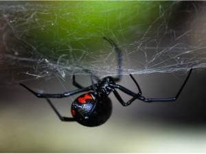 Description poisonous spiders dangerous kind of Black Widow, photo