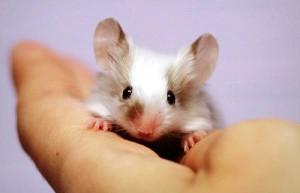 Декоративна миша, породи, утримання та догляд в домашніх умовах, опис і фото.
