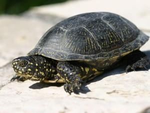 Опис виду Євпропейських болотної черепахи, фото породи, характеристика.
