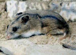 Описание хомячка породы Даурский, фото вида, характеристика.