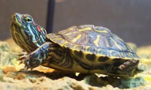 Червоновуха черепаха, утримання в домашніх умовах, догляд, характеристика, опис і фото.