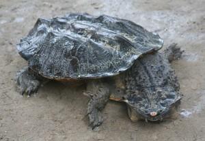 Описание черепахи вида Матамата, фото породы, характеристика.
