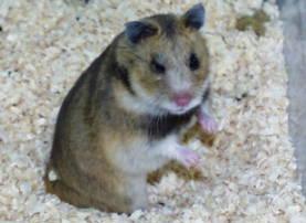 Опис породи Закавказьких хом'яків, характеристика виду, фото.