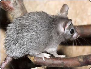 Акомисы (иглистые мыши), содержание в домашних условиях, описание и фото.