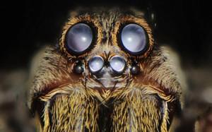 Опис павуків породи Лазівка, характеристика, фото.