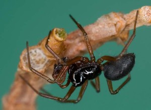 Опис павуків породи Лініфіїди, характеристика, фото.