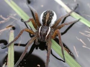 Описание водяного паука вида Серебрянка, характеристика породы, фото.