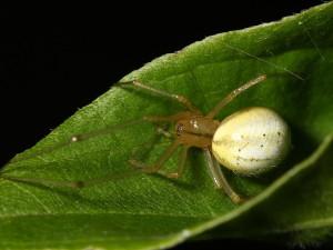 Описание пауков породы Тенетник, характеристика, фото.
